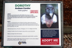 Dorothy the Condor