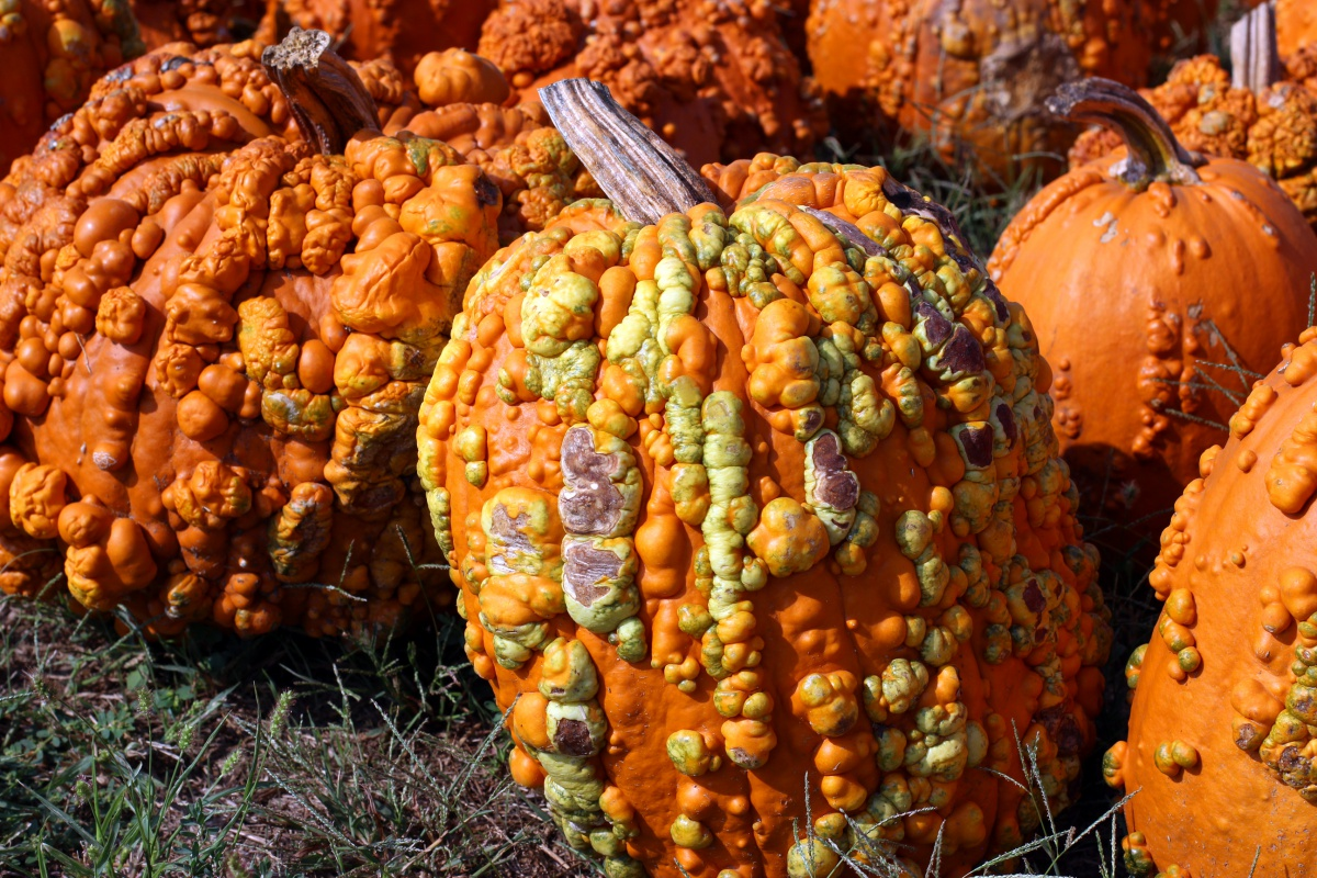 Chesterfield Valley Pumpkin Patch opens for first season